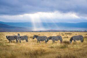 cinque zebre su un campo varde